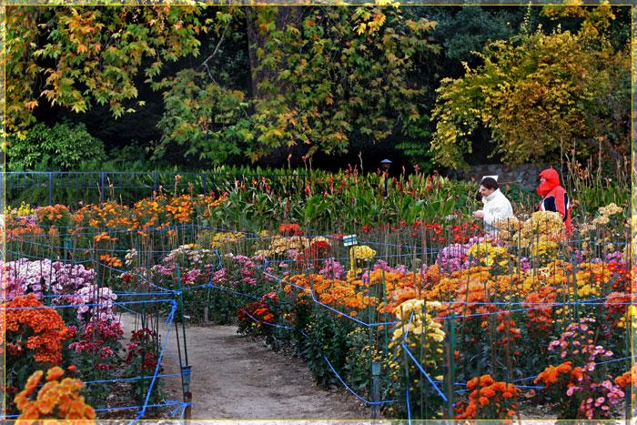 Выращивание хризантем в те 998