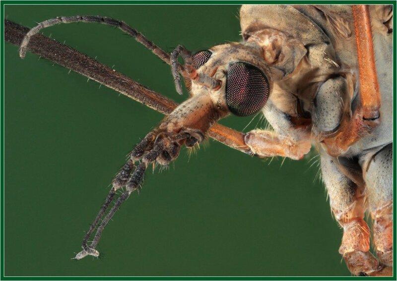 Портрет комара