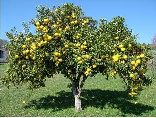 грейпфрут дерево