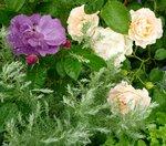 Роза флорибунда Рапсоди ин блю Rhapsody In Blue (Frank R. Cowlishaw) и роза кустарниковая Рококо (Rokoko) Tantau 1987