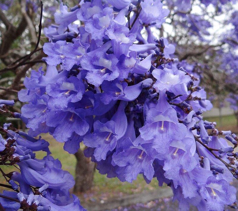 Цветы джакаранды