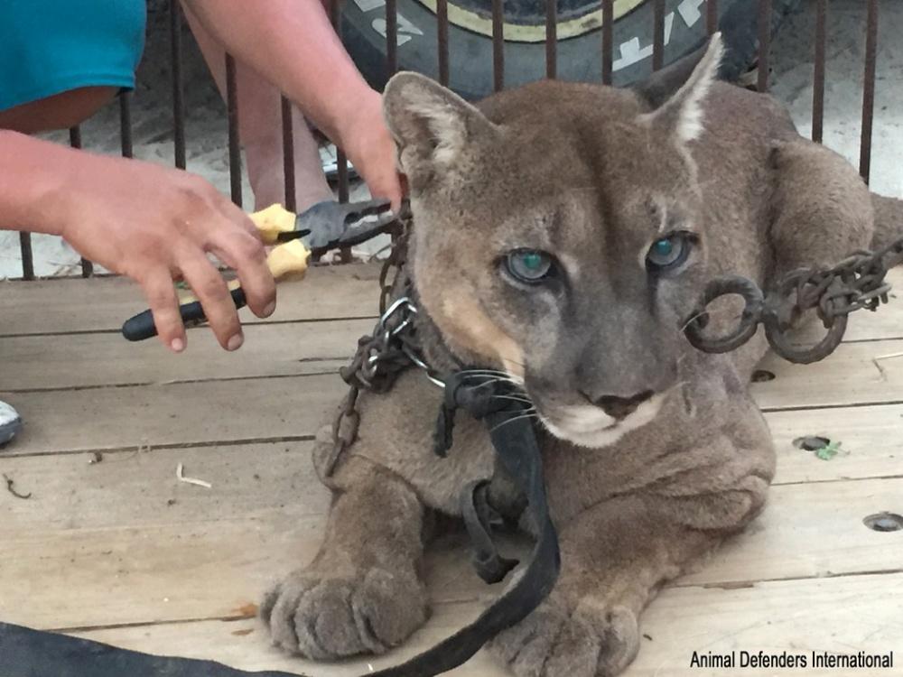 спасение цирковых животных