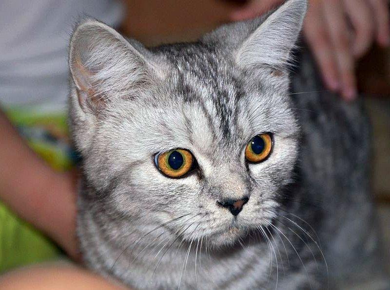 кот британец прямоухий фото