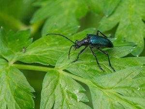 Черногрудый усач (Carilia virginea)Альбом:  Мир под ногами /  Жесткокрылые или жуки / Cerambycidae - Усачи