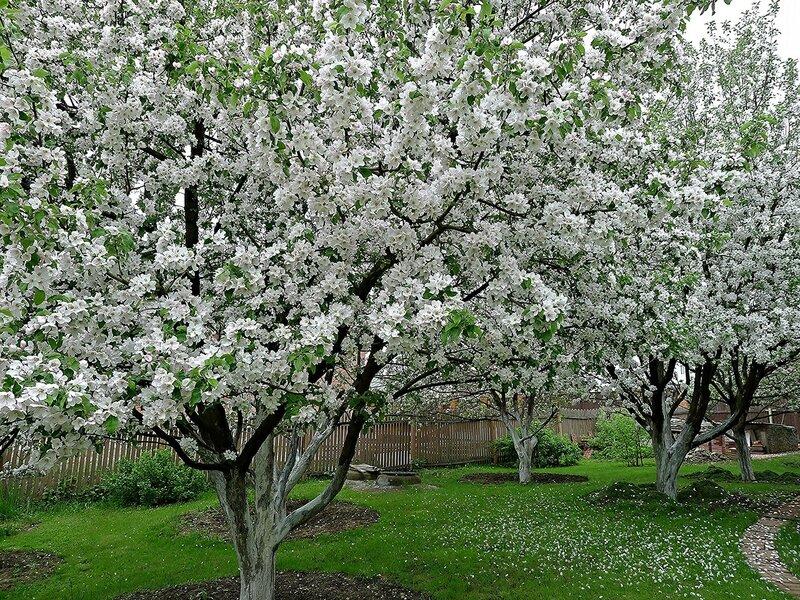 Яблони в цвету - белоснежное облако!