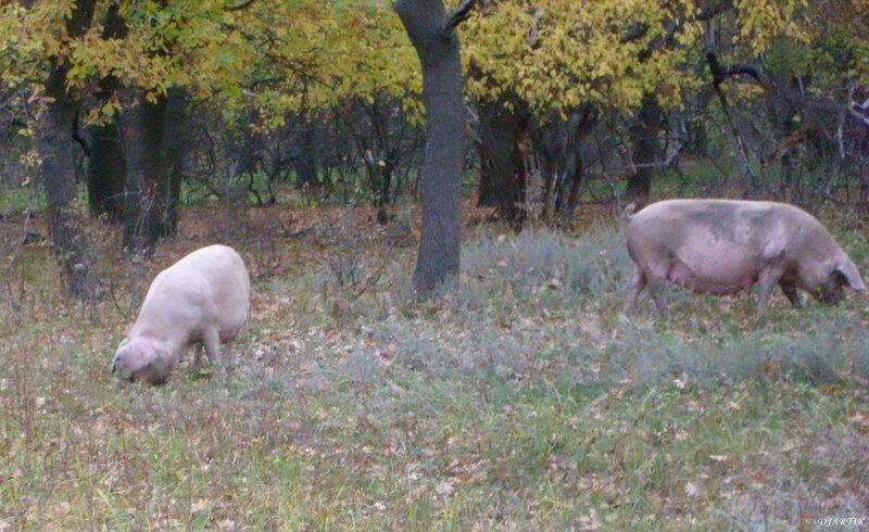 Полудикие свиньи. (2)