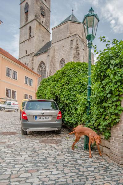 собака в чехии