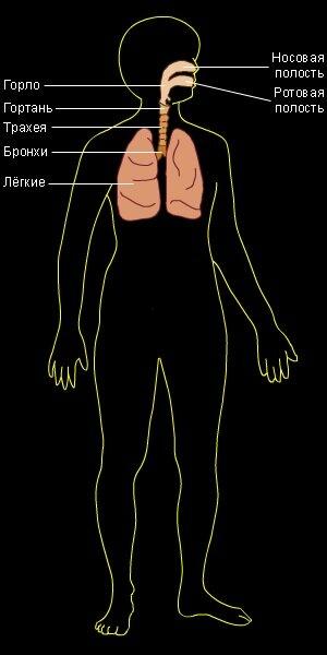 Дыхательная система млекопитающих.