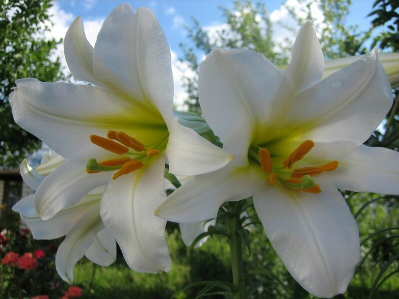 """Схема вышивки  """"Белые лилии """": таблица цветов."""
