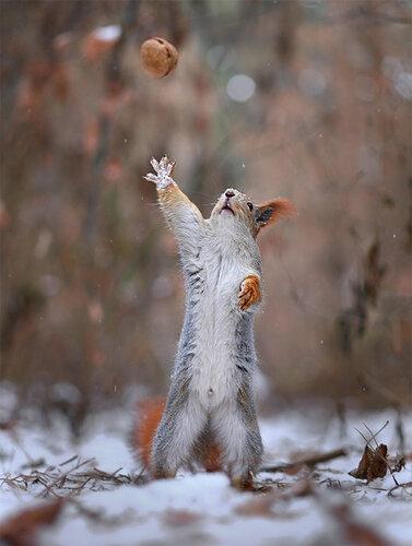 Озорные белки в зимнем лесу
