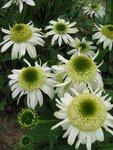Echinacea Vanilla Cupcake (1).JPG