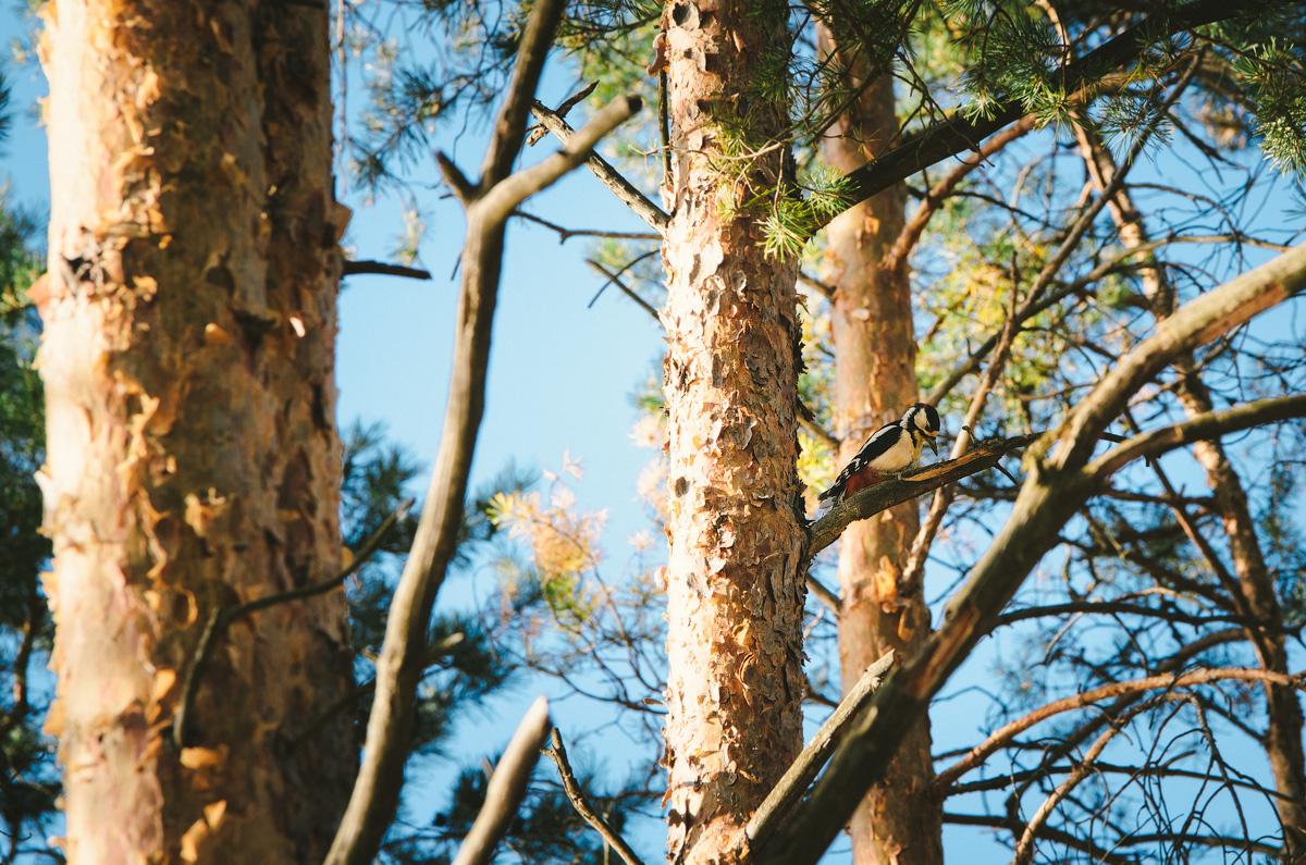 Дятел в лесу
