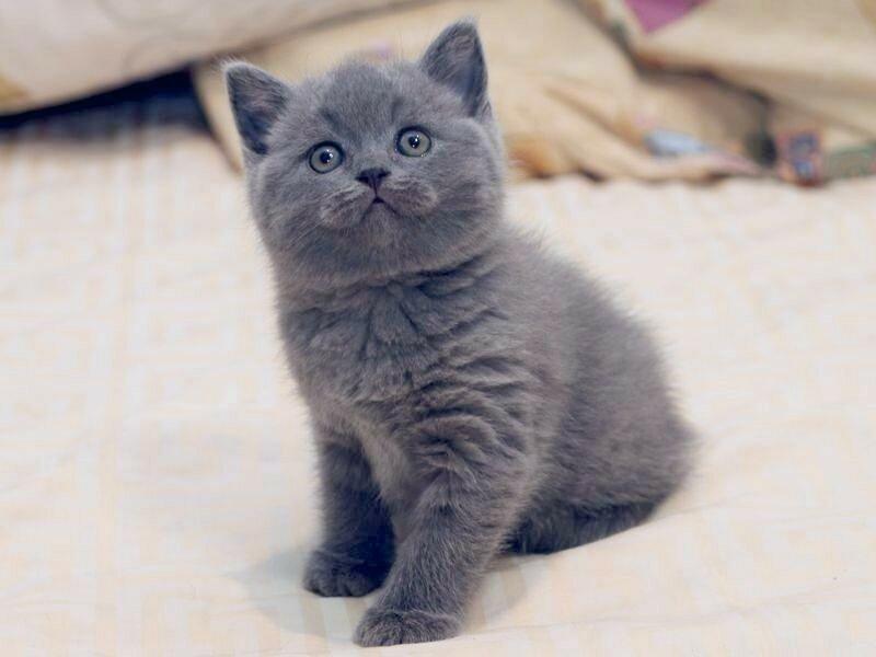 британский котёнок.jpg