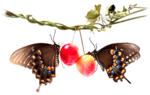 MR_Sweet Cherries for Butterflies.png