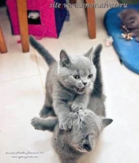 британские котята разведение