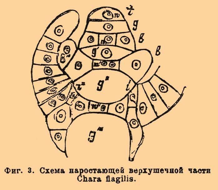 Стебель X. растет при помощи поперечного деления плоско-выпуклой верхушечной клетки (фиг.  3, t); рост его...
