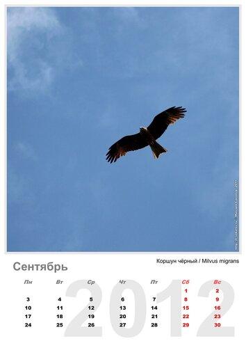 Календарь «Птицы 2012» Сентябрь - Коршун чёрный / Milvus migrans