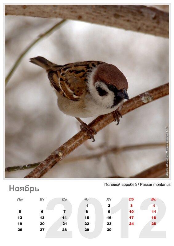 Календарь «Птицы 2012» Ноябрь - Полевой воробей / Passer montanus