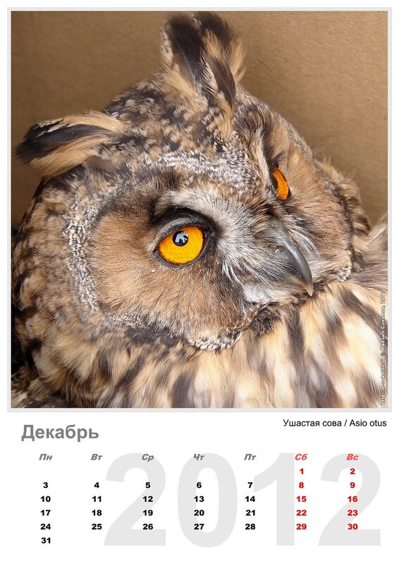 Календарь «Птицы 2012» Декабрь - Ушастая сова / Asio otus