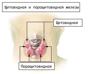 Illu_thyroid_parathyroid_ru.png