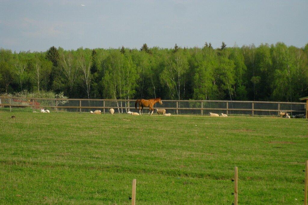 Лошадь и овцы
