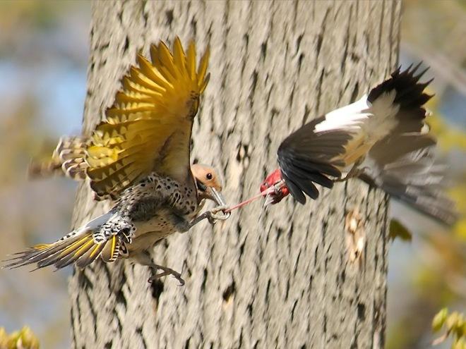 """Вернее за клювом.  Даже в мире птиц умение держать язык за зубами не бывает лишним, а поймают  """"на слове """"..."""