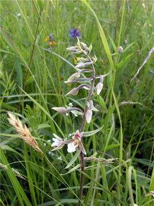 Дремлик болотный (Epipactis palustris)Альбом: лесные растения