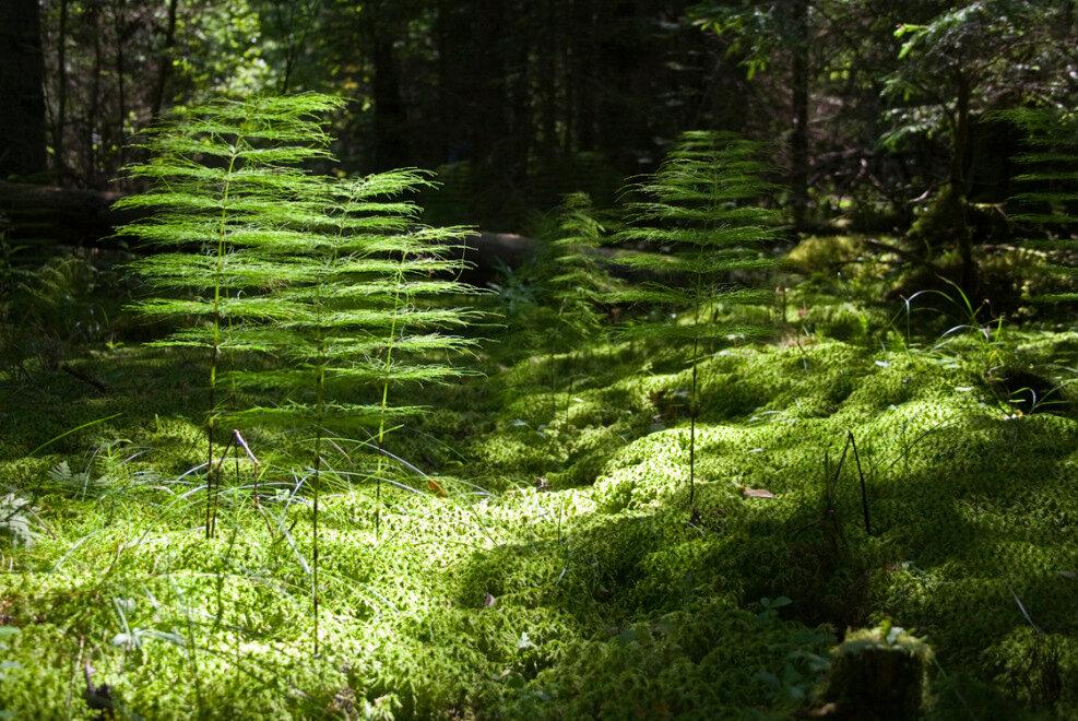 морай это хвощ лесной фото лично этим впечатлениям
