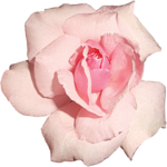 Lilas_Iced-Roses_elmt (44).png