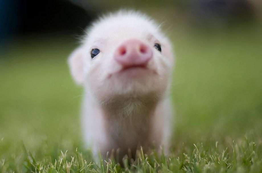 Little Pig для Nokia 2710 Navigation Ed.