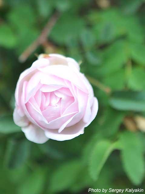 Rosa spinosissima Falkland (1).JPG