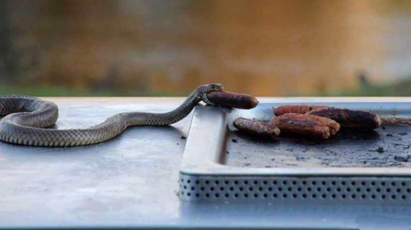 змея кушает сосиску