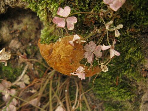 Трутовик ложный дубовый (Fomitiporia robusta). Автор фото: Станислав Кривошеев