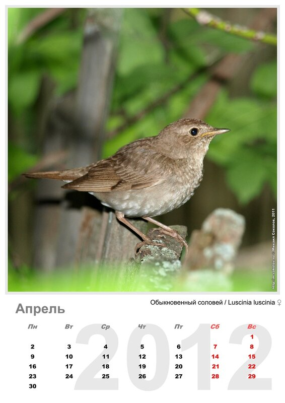 Календарь «Птицы 2012» Апрель - Обыкновенный соловей / Luscinia luscinia (самка)