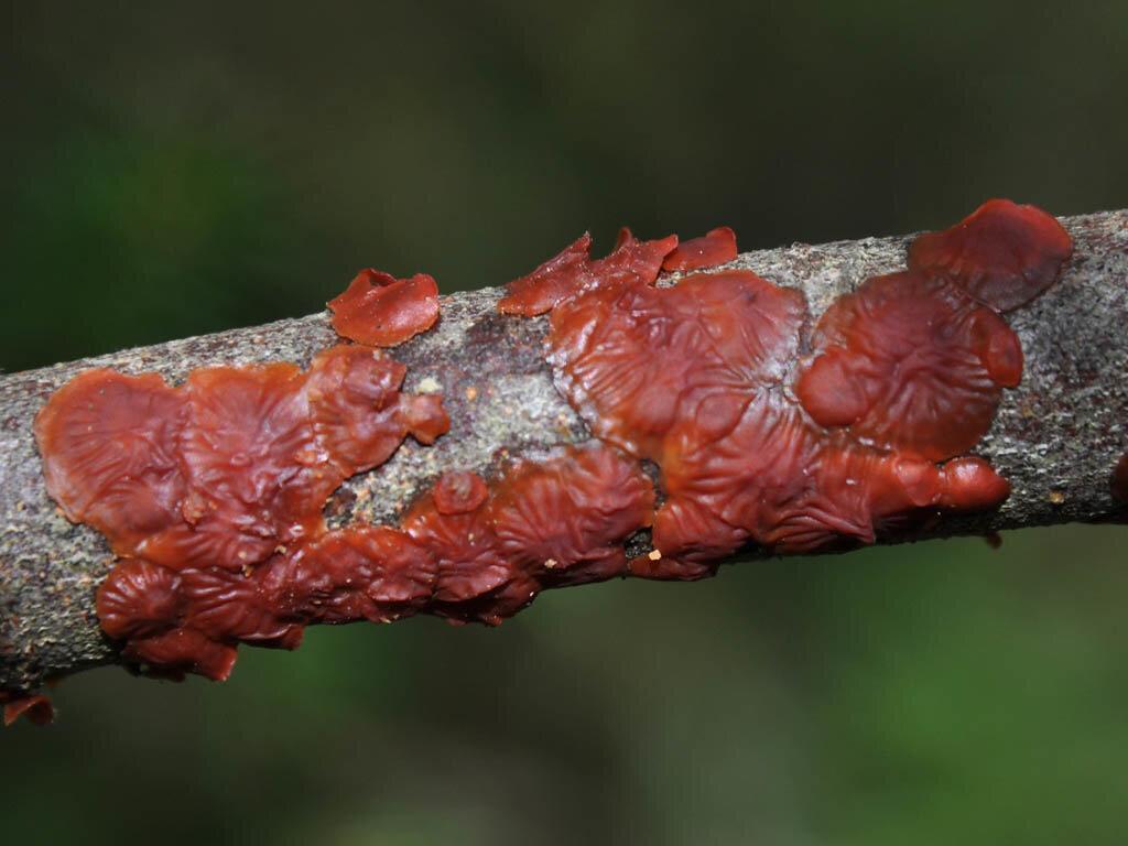 Цитидия ивовая (Cytidia salicina) Автор фото: Владимир Брюхов