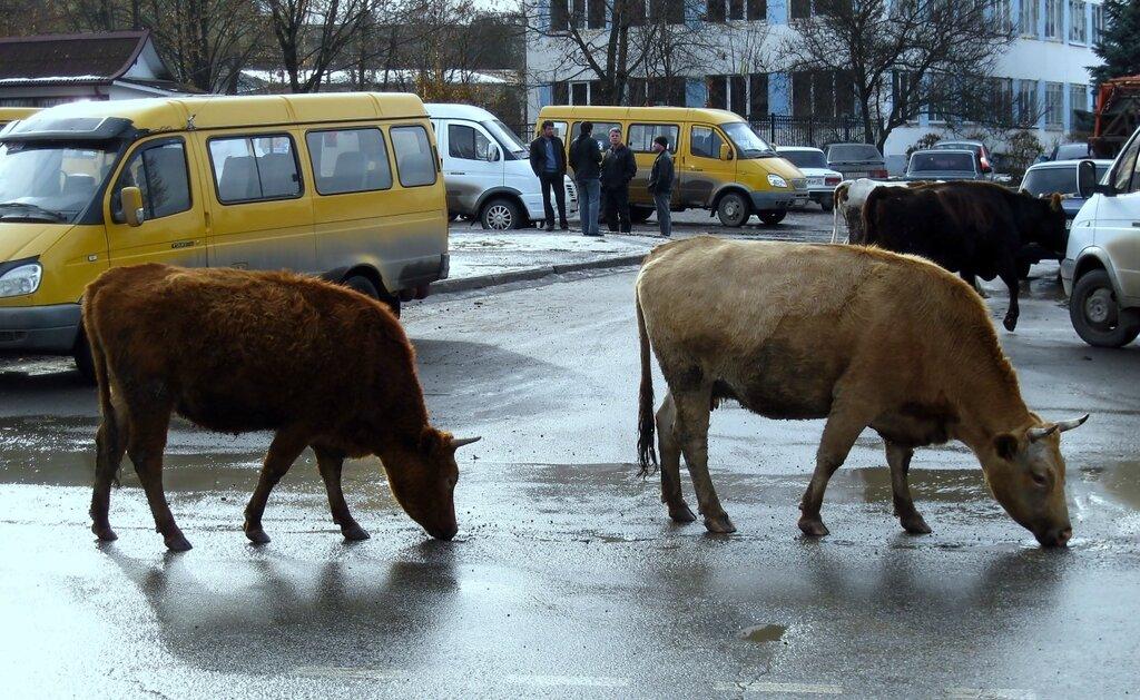 Сделал корове куни фото 147-780