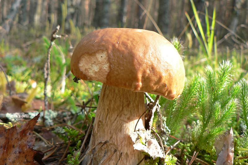 белый гриб 1