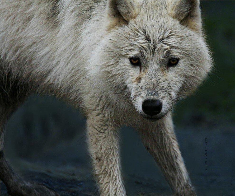 занятие знакомство с волком