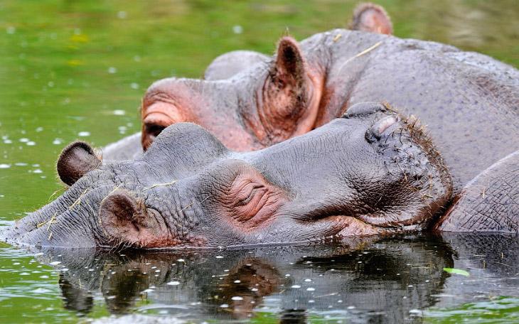 2. Лучше не связываться. Лев, переплывая реку, увидел крокодила и решил резко ускориться. (Фото MARN