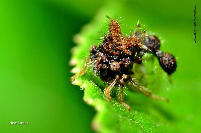 Самое уродливое насекомое на Земле