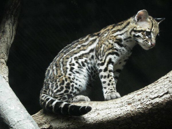 Оцелот – 28 фотографий маленького леопарда