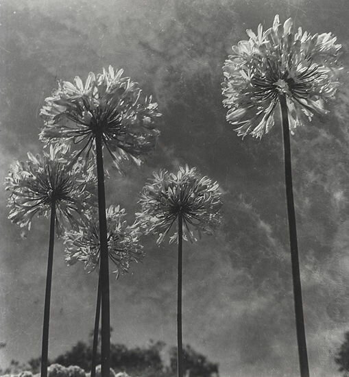 by Olive Cotton Agapanthus