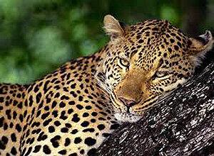 На юге Приморья зафиксирована новая взрослая самка леопарда