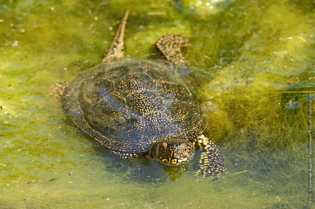 фотография водно-болотная черепаха каньон Саура