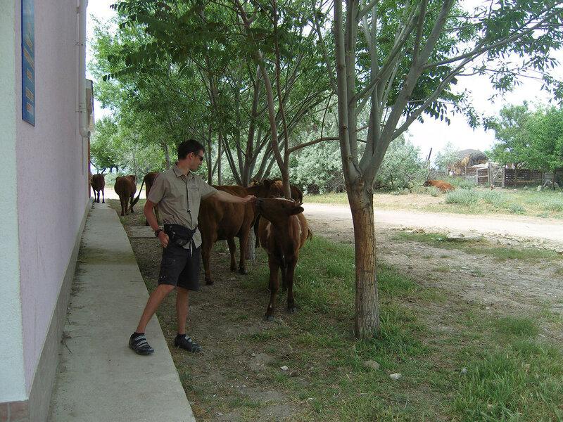 коровы у магазина в Курортном
