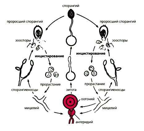 множества клеток грибов имеется клеточная стенка, отсутствует она лишь у зооспор и вегетативных клеток некоторых...
