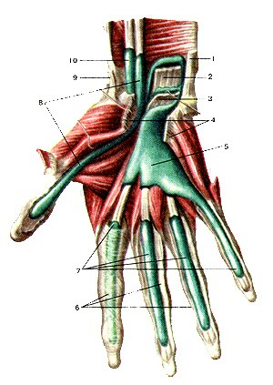 По каким венам течет артериальная кровь