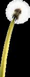 Alies 1FP562-Dandelion-26062013.png