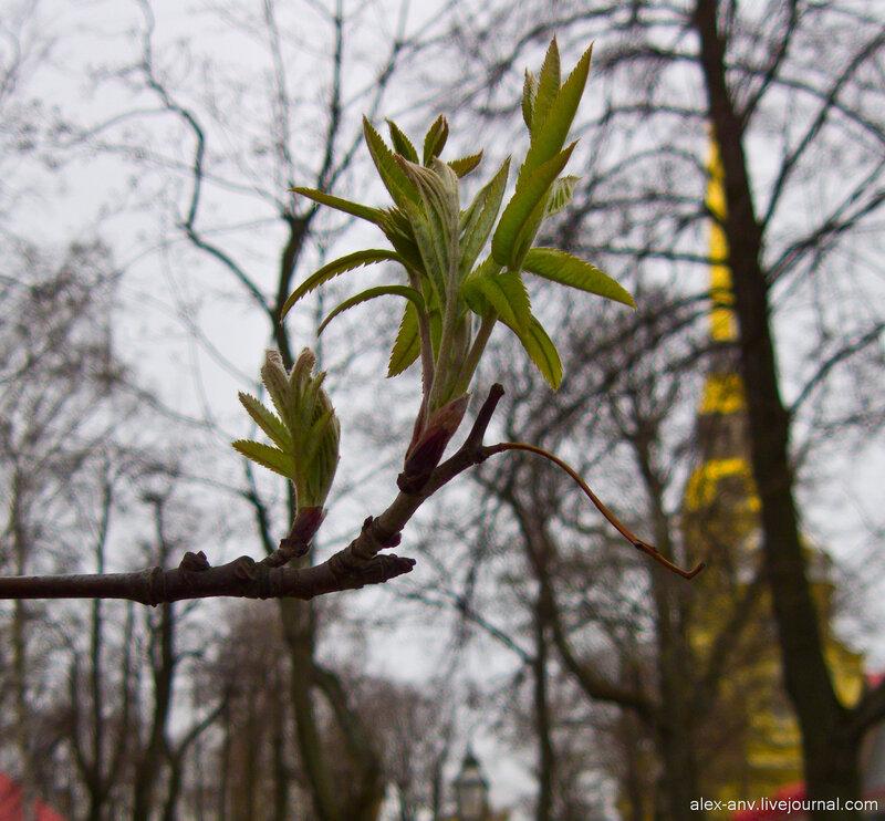 Петропавловская крепость. Каштаны только-только распускают листья.