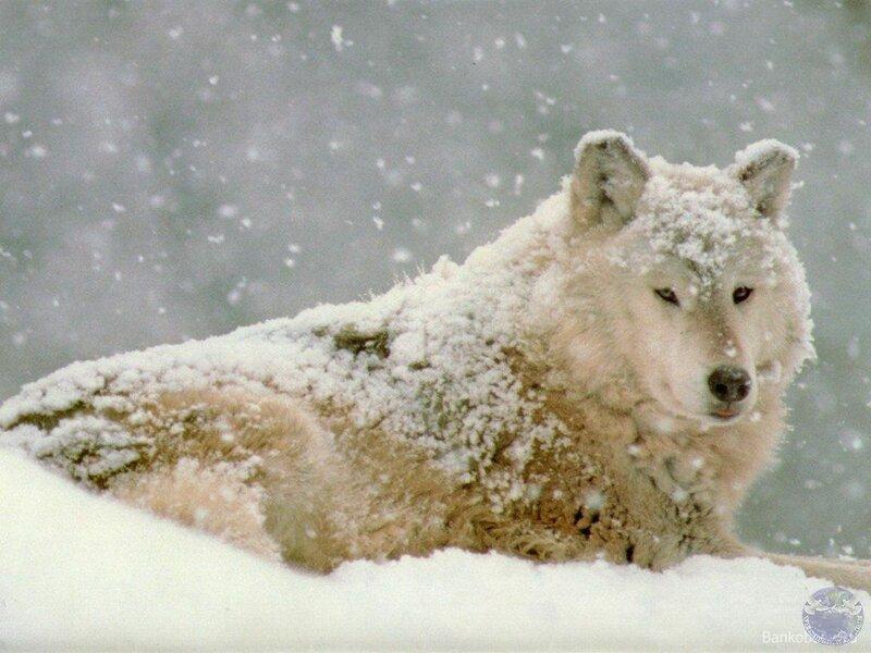 ...волков,действительно увлекательные фото дикой природы.